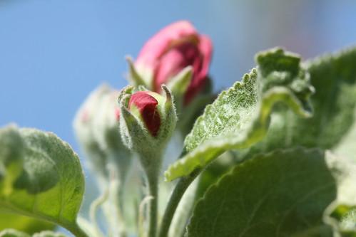 Granny Smith Blossom 1