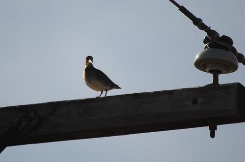 Common Snipe on telephone pole