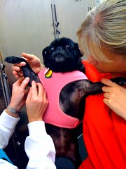 Molly getting a lump aspirated at the vet.