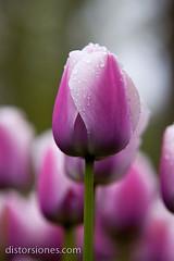 Tulipán Jc