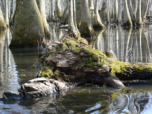 Merchant's Millpond State Park - Lassiter Swamp - Moss on Fallen Tree