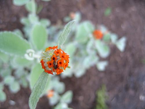 woolly butterfly bush