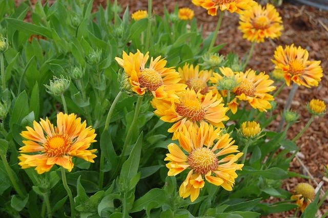 Gaillardia x grandiflora 'Oranges & Lemons'