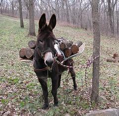 Donkey Hoadie