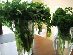cilantro-parsley