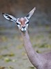 "Gerenuk • <a style=""font-size:0.8em;"" href=""http://www.flickr.com/photos/24419989@N07/3260331777/"" target=""_blank"">View on Flickr</a>"