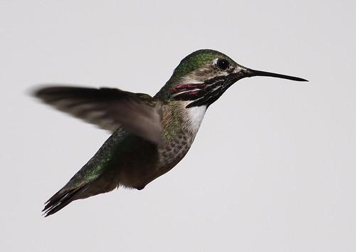 Calliope Hummingbird (male)