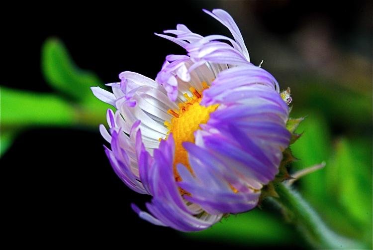 Subalpine Daisy