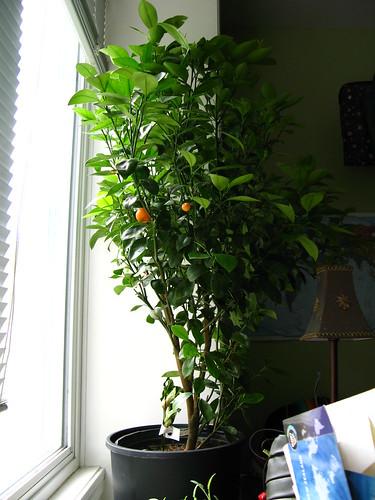 My calamondin tree