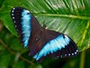 """Morpho • <a style=""""font-size:0.8em;"""" href=""""http://www.flickr.com/photos/24419989@N07/3254918387/"""" target=""""_blank"""">View on Flickr</a>"""