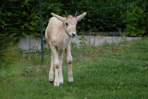 Mendesantilope im Tierpark Friedrichsfelde in Berlin