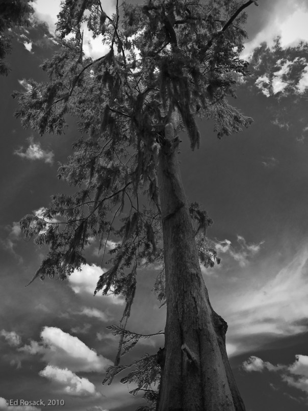Lake Jessup Cyprus Tree and clouds