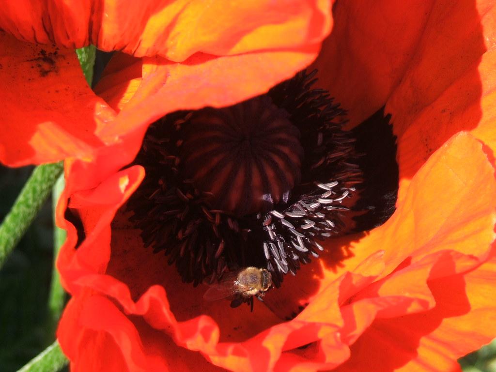 Bee in poppy