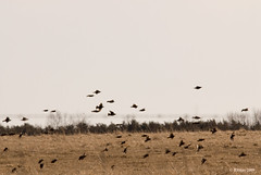 Starlings on Parade - Amherst Island