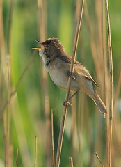 Reed Warbler Singing by rogersanderson, on Flickr