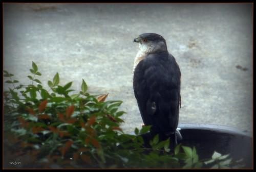 Big Bad Birdy