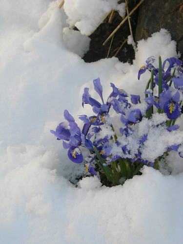 Dwarf Iris in Snow