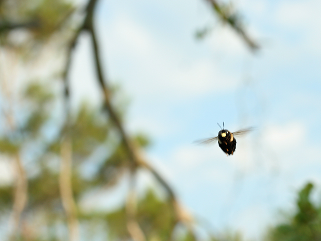 Carpenter-Bee1