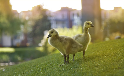 Canada Goslings & Magic Hour