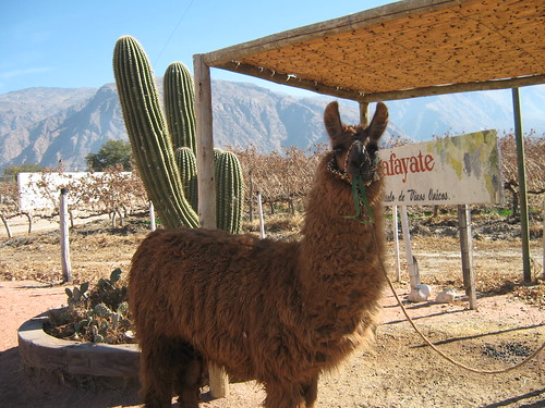 Parting Photo of a Llama. Enjoy.