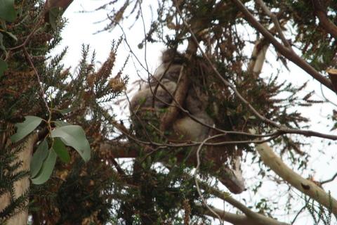 04-Koala