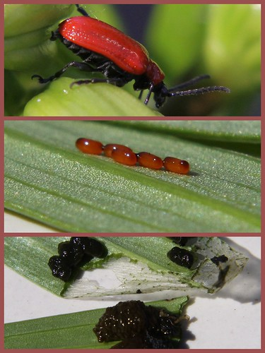 Peace lily red beetle