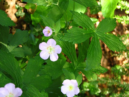 Spring wildflower 1