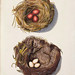 002-Nidos de Alondra y Carbonero-Colección de nidos de aves 1772