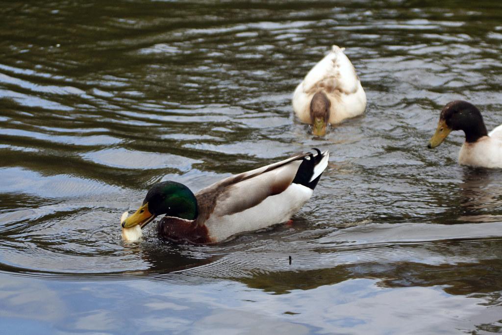 Ducks006