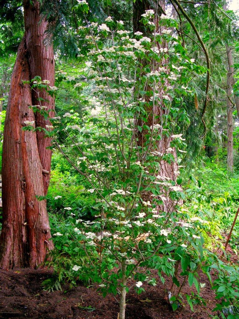 Entwined Cedars & Aurora Dogwood