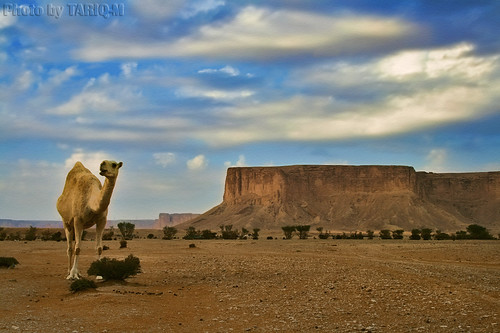 Camel in Tuwaiq Mountains HDR by TARIQ-M