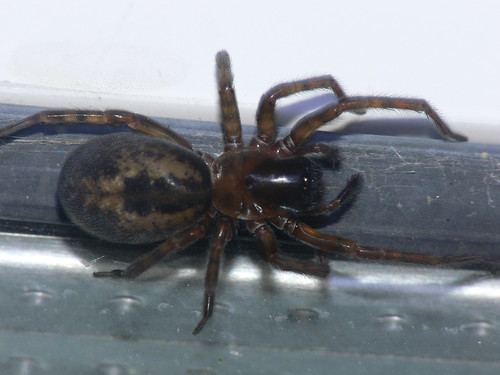 Window spider (amaurobius fenestralis)