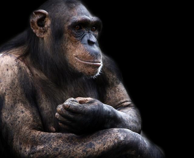 Chimp Chimpanzee Ape