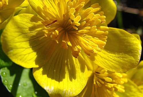 Marsh Marigold - looking close