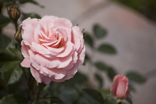 Rose 'Sexy Rexy'