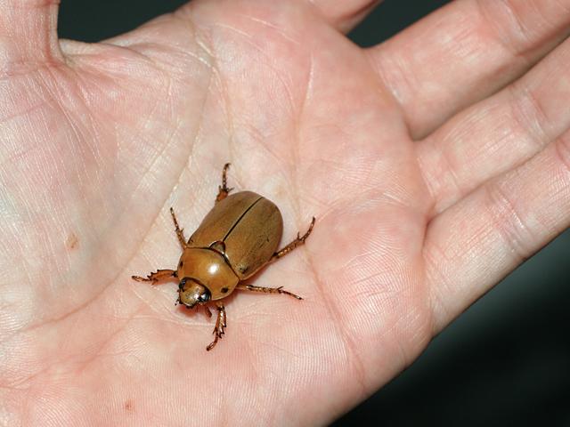 Grapevine-Beetle2