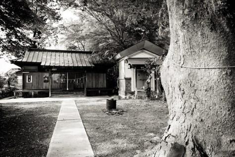 #54 Giant Zelkova of Yakumo Shrine