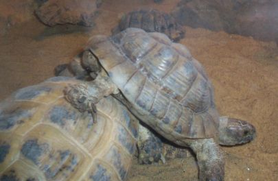 Tortoise - Albie