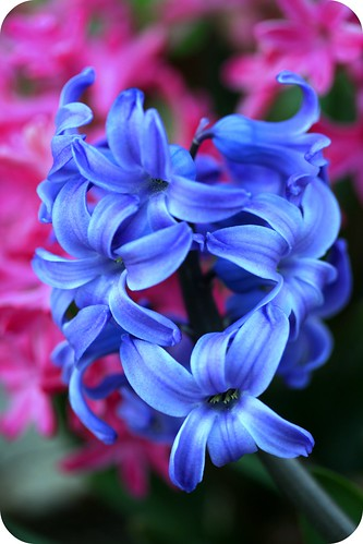 Hyacinth by you.