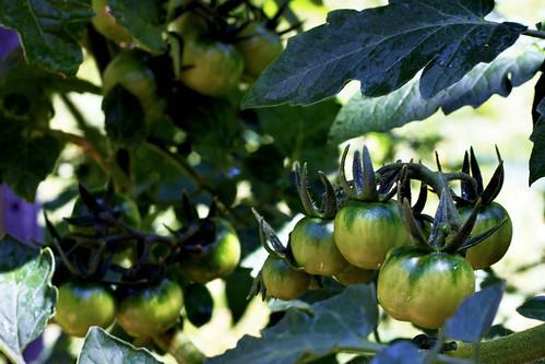 Green-Cherry-Tomatoes