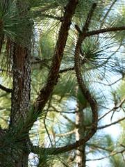 Merchant's Millpond State Park - Curling Longleaf Pine Branch