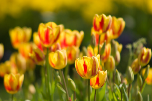 yellow-red tulips, istanbul tuli festival, istanbul, İstanbul lale festivali 2009,  pentax k10d