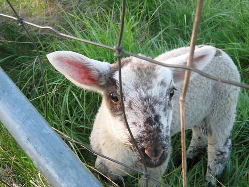Sheepy friend1