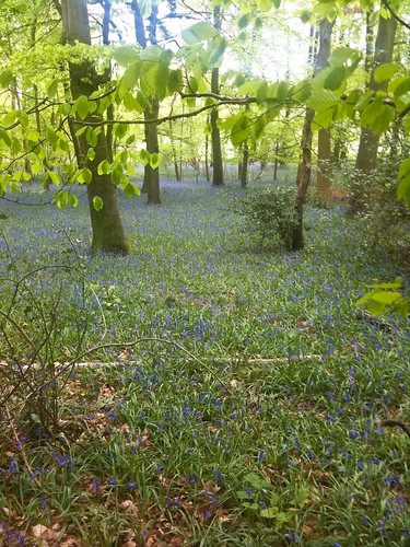 Buckinghamshire bluebells 3