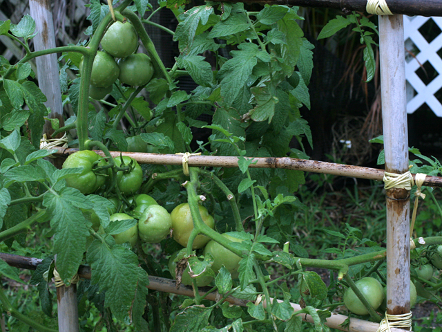 Big-Tomatoes