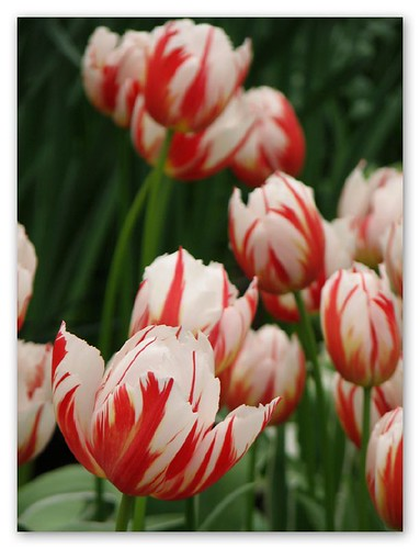 Red/white tulips by you.
