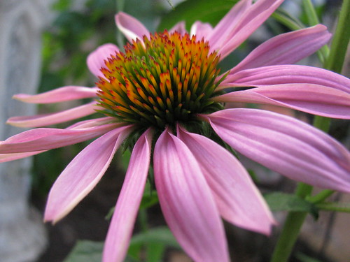 June 1st Coneflower Bloom
