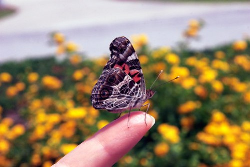 painted lady on my finger