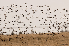 Starlings on Parade (2nd of 4 in series) - Amherst Island