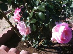 Roses still roses